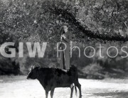Welcome to Danger -  Harold Lloyd balanced atop cow